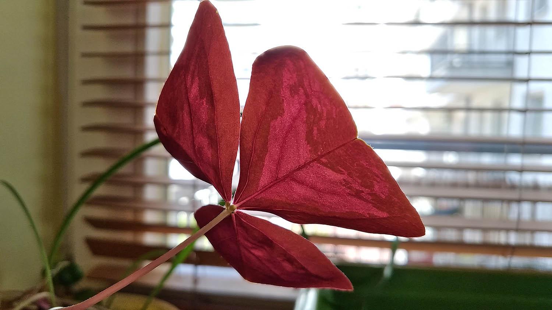 zenfone zoom S - zdjęcie kwiatu
