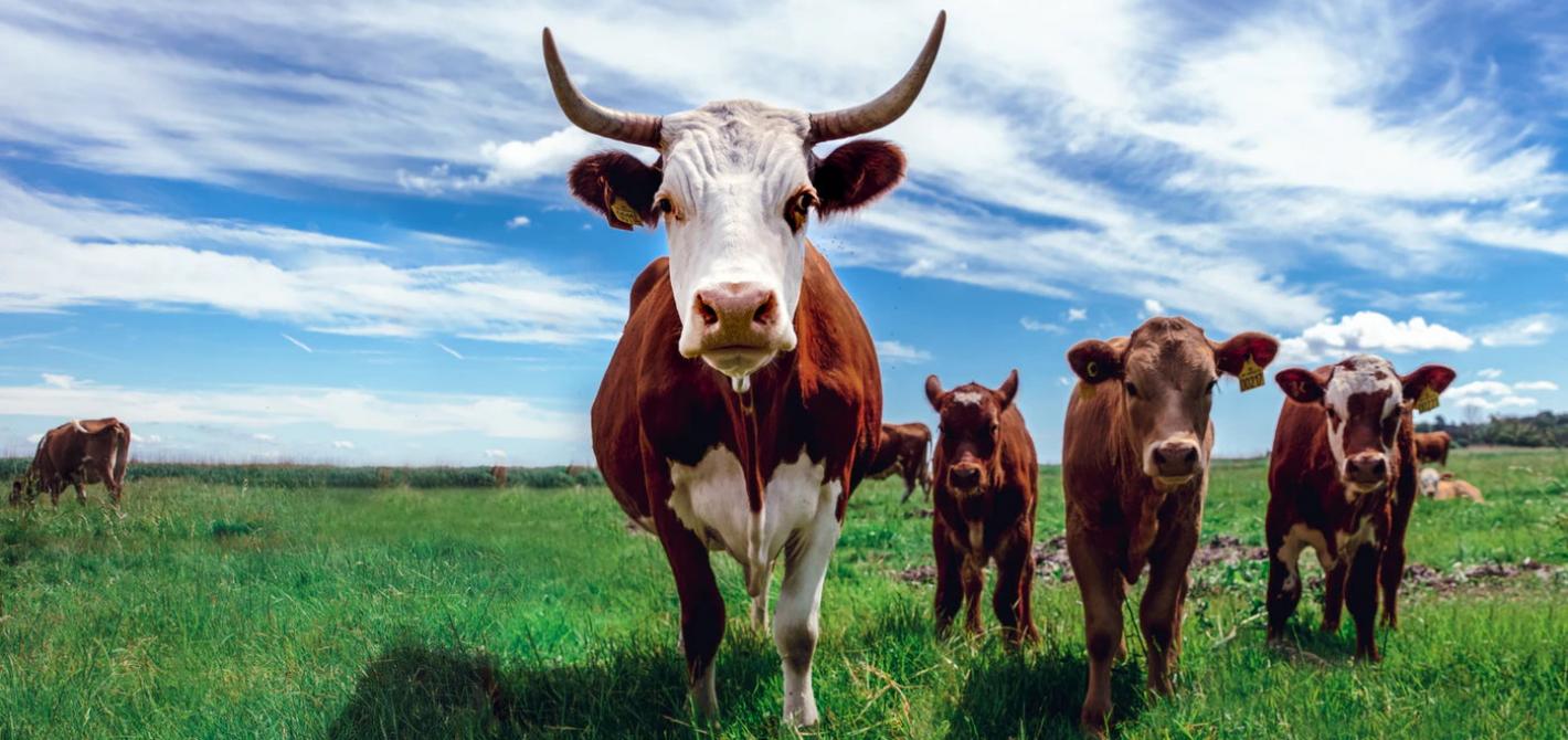 krowa mięso in vitro